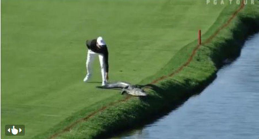 Житель америки прогнал аллигатора споля для гольфа