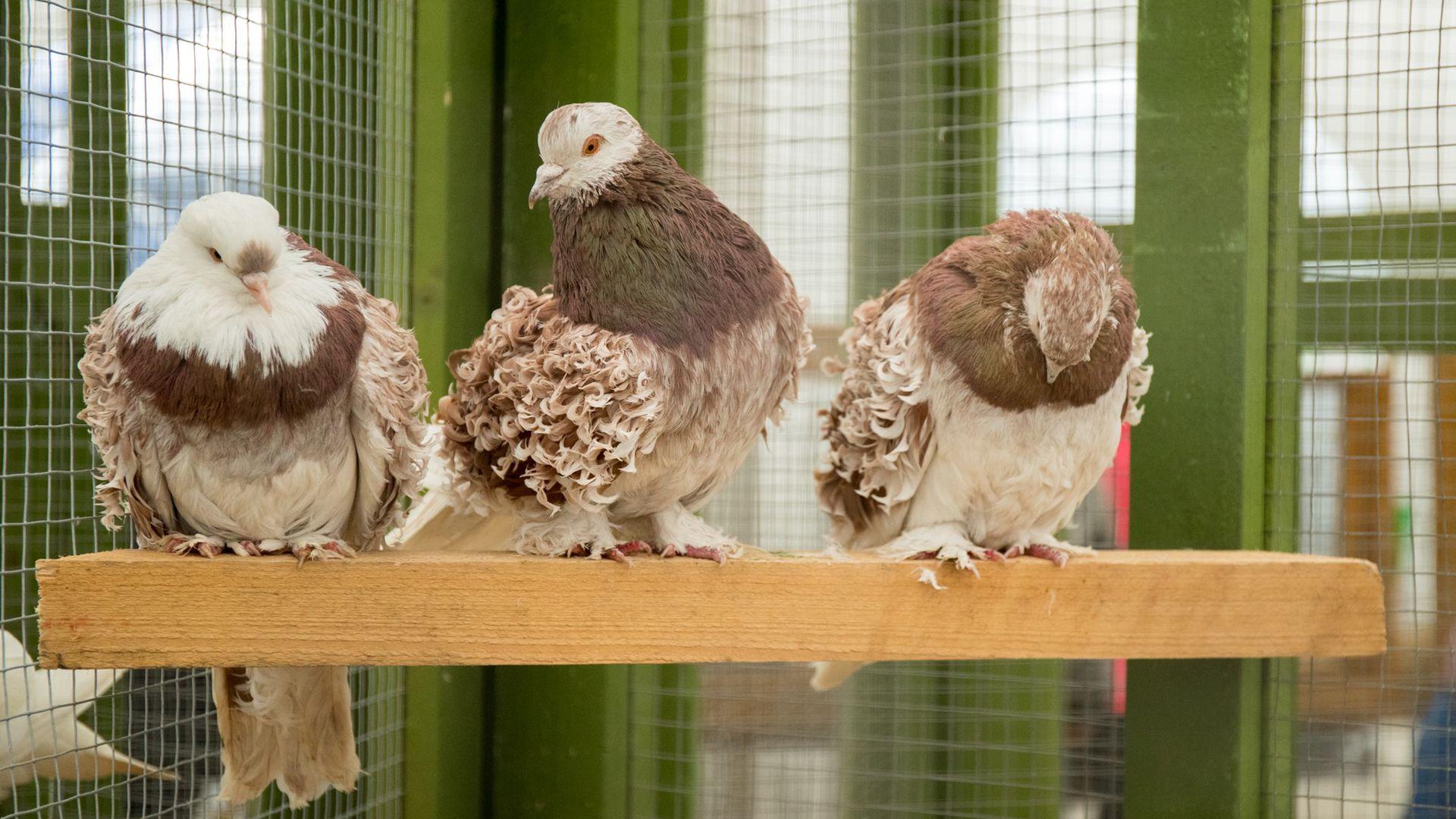 Luige linnunäitusel saab näha üle 200 erinevast tõust kodulinnu