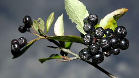 Musta aroonia marju ja mahla soovitatakse kõrgvererõhktõve algstaadiumis.