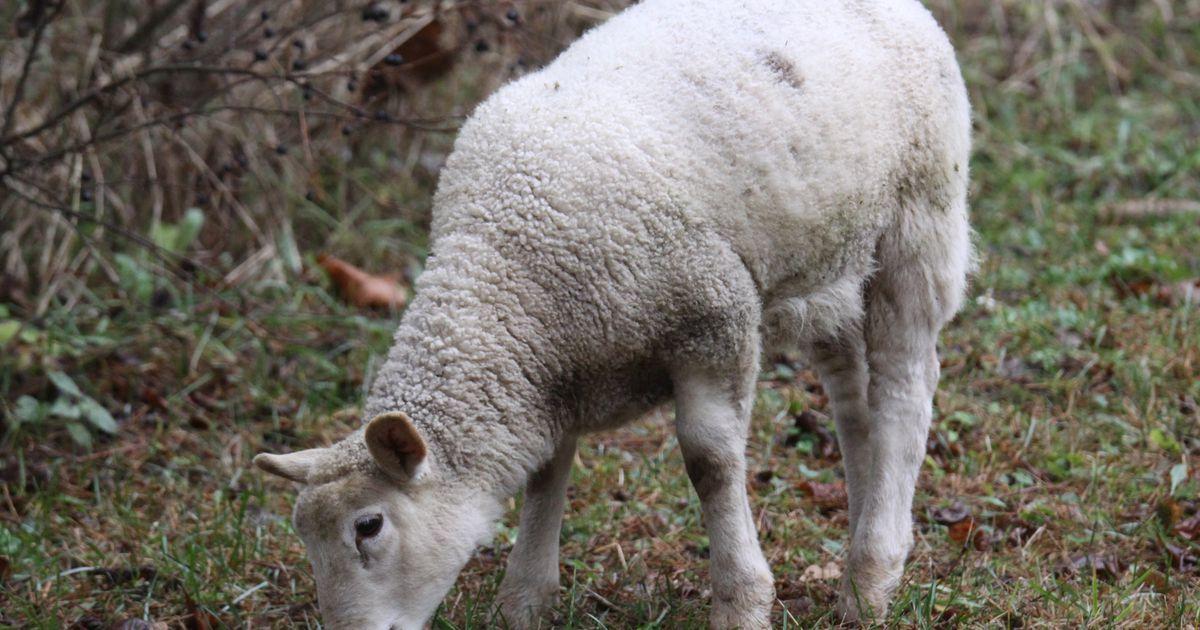Seiklev lambakari jõuab õhtuks koju