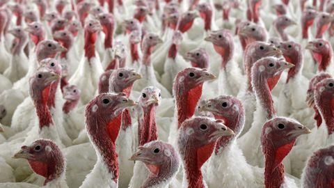 11.aprill 2012, Liibanon. Neid kalkuneid kasvatatakse David Martini farmis ilma antibiootikumideta. FDA on palunud ravimiametitel piirata antibiootikumide müüki farmiloomade tarbeks.