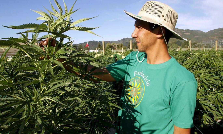 Марихуана мексики как долго марихуана выводится из организма