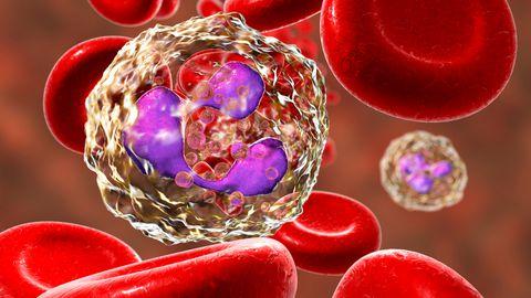 Neutrofiilid, kõige arvukamalt esinevad leukotsüüdid, on esmased põletikule reageerivad rakud ja bakterite õgijad.