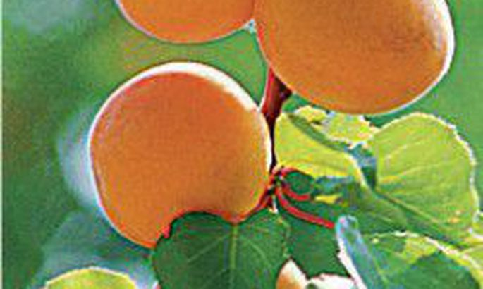 962b8440f55 Igivana vili aprikoos - Tarbija