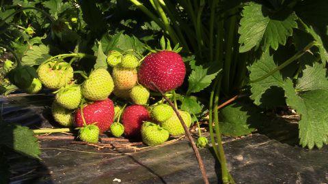 Maasikad võiks enne söömist ära pesta.