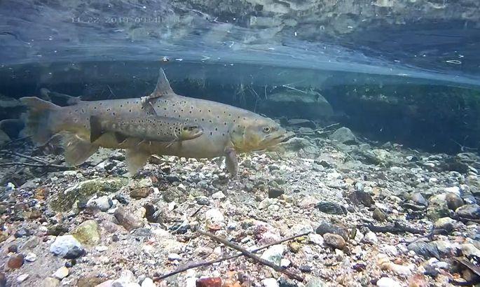 1ed6d21c45b Jõeforellikaamera abil saab reaalajas jälgida nende põnevate kalade elu.  FOTO: RMK looduskaamera