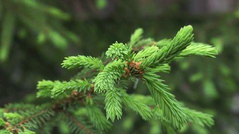 Harilik kuusk (perekonnas on 34 liiki) on Eesti metsade üks vanemaid asukaid, jõudnud siia umbes 11 000 aastat tagasi, et jäädagi.